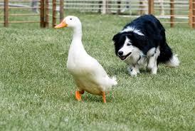 australian shepherd jobs there u0027s always a job for a herding dog modern farmer