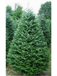 fraser fir tree christmas trees