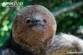 4 toed sloth maned three toed sloth photo bradypus torquatus g81036 arkive