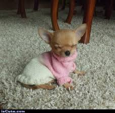 chihuahua in sweater 100 images chihuahua sweater winter stock