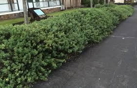 native hedgerow plants landscaping with native hawaiian plants ola design group