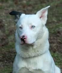 australian shepherd and german shepherd mix pin by selena crosby on white german shepherd dog never blue eyes