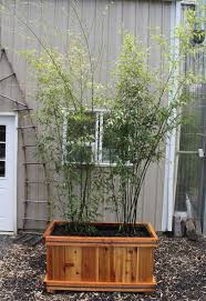 Shrubs For Patio Pots Growing And Maintaining Bamboo