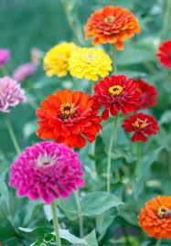 Zinnia Flower Zinnia Information From Flowers Org Uk