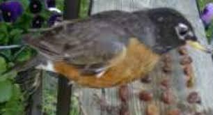 Ontario Backyard Birds Backyard Birds Of Southern Ontario
