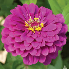 zinnia flower purple prince zinnia seeds farmer seeds
