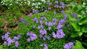 shade loving native plants april gbbd native phlox for your garden carolyn u0027s shade gardens