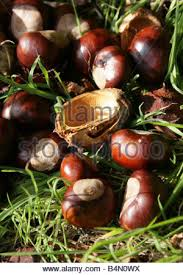 conkers the fruit of the chestnut tree aesculus