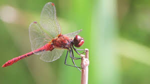 dragonfly sitting on a stick a small stock footage