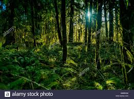 Deep Forest Green Ancient Forest In Vancouver Island Bright Morning Sunlight And