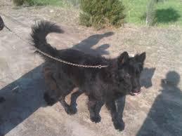 belgian sheepdog puppies price belgian shepherd groenendael pups for sale double coat islamabad