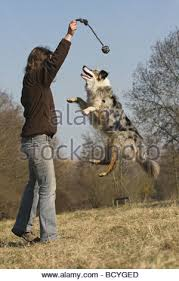 playing with australian shepherd woman plays with an australian shepherd dog in a river stock photo