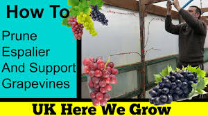 how to espalier and prune grape vines youtube