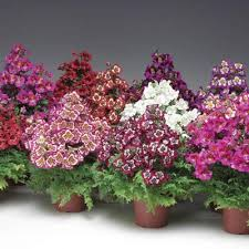 schizanthus atlantis mix f1 u2013 harris seeds