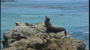 the cisco kid sea lion pup at cabrillo beach youtube