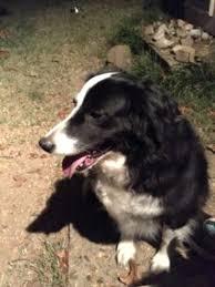 australian shepherd hair found dog in north little rock pulaski australian shepherd