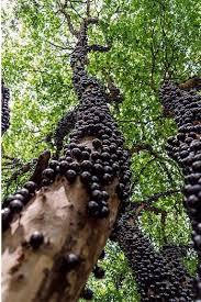 shangralafamilyfun shangrala s most unique trees