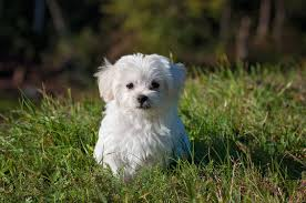5 haircut styles for a maltese tulsa pet grooming the paw spa