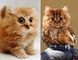 meowls are the cat owl cross breed that we u0027ve been missing