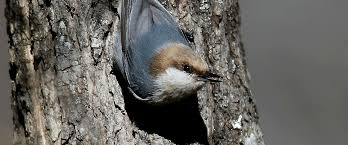 make a little room for the brown headed nuthatch audubon north