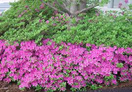 ornamental trees shrubs
