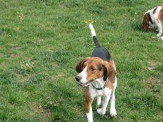 bluetick coonhound nh i found kujo on bluetick coonhound