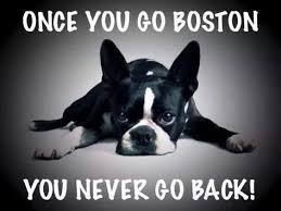 Boston Terrier Meme - boston terrier puppies home facebook