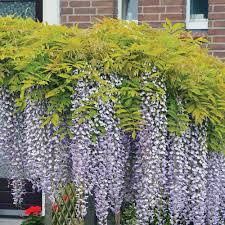 wisteria thompson u0026 morgan