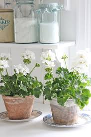 best 20 geraniums ideas on pinterest geranium plant geranium