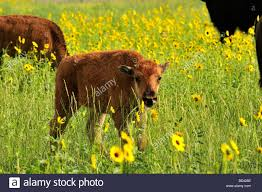 A 2 Week Old Bison Calf In A Field Of Sunflowers In Southwestern