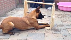 belgian malinois jet black family create game that requires dog to rotate bottles to release