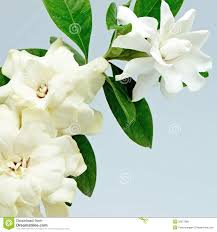 gardenia stock photos royalty free images dreamstime