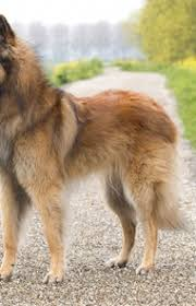 belgian shepherd dog temperament belgian tervuren dog breed information pictures characteristics