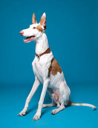 weimaraner vs afghan hound ibizan dog breed information pictures characteristics u0026 facts