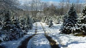 christmas trees kenburn orchards