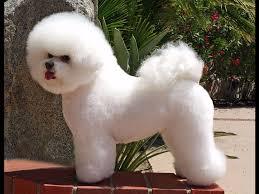 bichon frise kennels hollyhock bichons bichon frise puppies for sale