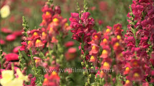 snapdragon flowers snapdragon flowers antirrhinum majus in mughal gardens at