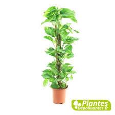 plante d駱olluante chambre plante depolluante nouveau pothos avec tuteur meilleur plante