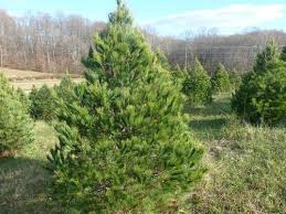 clagett farm trees for sale soon
