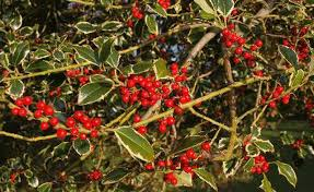 when does a tree get berries hunker