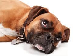 boxer dog rescue adopt a boxer lone star boxer rescue a local houston boxer rescue