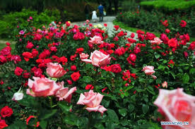 china with roses tourists view roses in beijing botanical garden 8