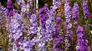 delphinium flowers wallpaper 1920x1080 delphinium flowers lilac
