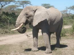 searching for the elephant u0027s genius inside the largest brain on