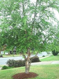 Best Trees For Backyard by 25 Best River Birch Trees Images On Pinterest Birches