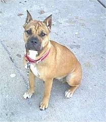american pitbull terrier white with black spots bullboxer pit dog breed information and pictures