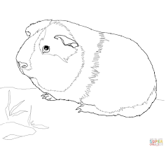 guinea pig coloring pages free coloring pages