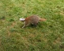 raccoon u0027s head freed from peanut butter jar in farmingdale yard