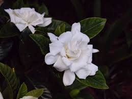 gardenia jasminoides or cape jasmine fragrant evergreen shrub