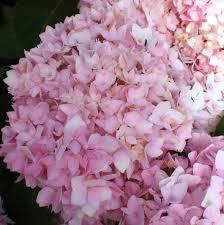 pink hydrangea hydrangea macrophylla cameroun h pink